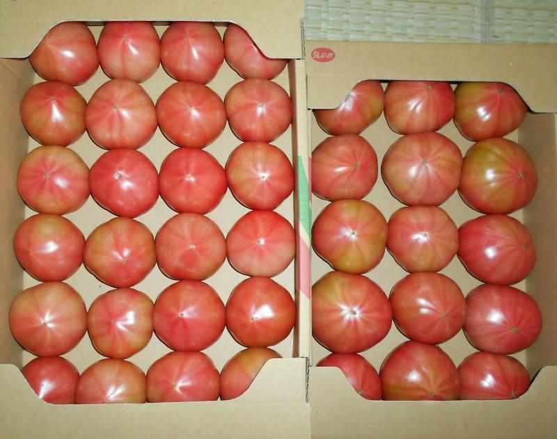 箱詰めされ出荷されるトマト
