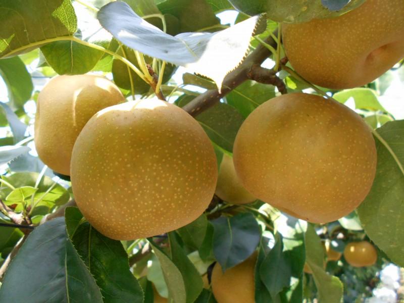 新鮮で果汁たっぷり「いちかいの梨」